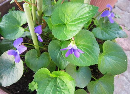 青紫色のスミレ
