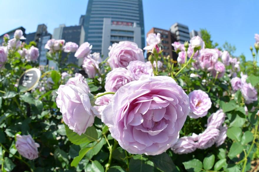 バラ園の春バラ (1)
