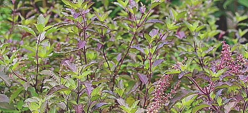 holy-basil-tulsi-mini.jpg