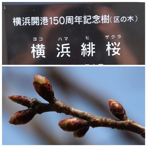 hizakura.jpg