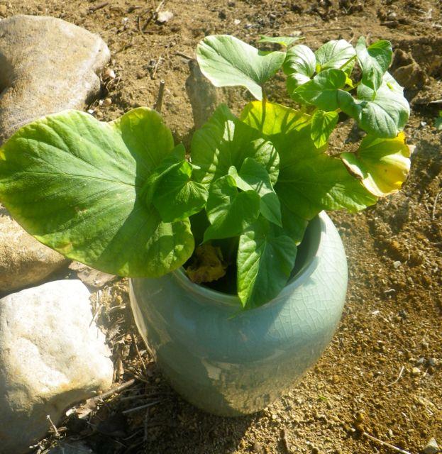冬を越えた芋のツル1