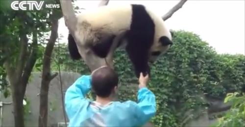 かわいすぎる!木から降ろされてハグを要求する子パンダ