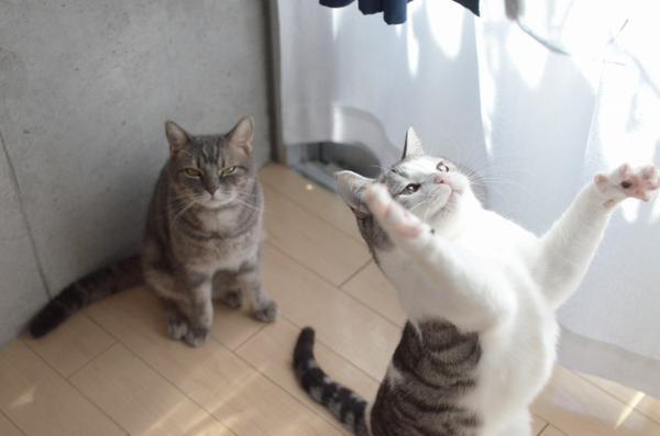 運動オンチなネコの決定的瞬間がかわいすぎると話題に 4枚2