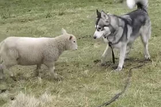 【ヒツジと犬の固いきずな】幼なじみの「羊とハスキー犬」の再会に感動!