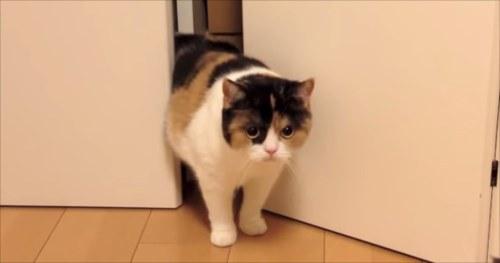 裏切らない(笑)!兄の真似をして詰まる妹ネコと さっと助けにきた兄ネコ