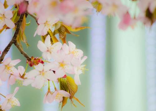 桜201541