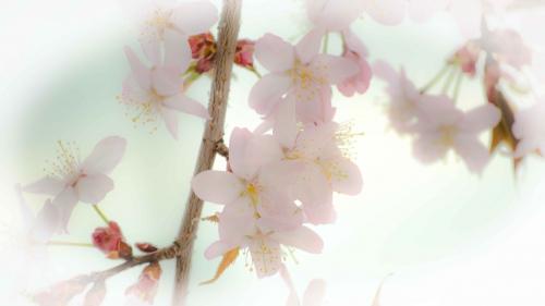 桜20154