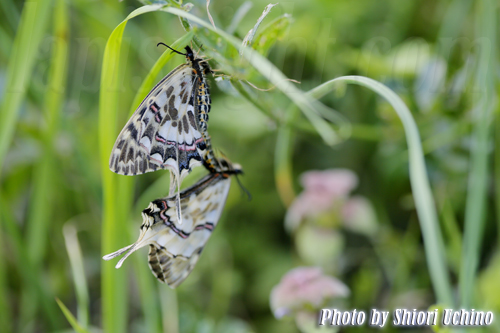【ホソオチョウ(細尾蝶) -Dragon Swallowtail-】