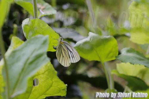 スジグロシロチョウ(筋黒白蝶)