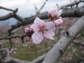 桃の花を近くから