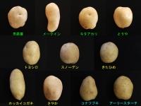 日本いも類研究会11varieties-v2