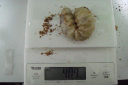 2015/3 スマトラ幼虫