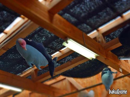 天井のマグロ
