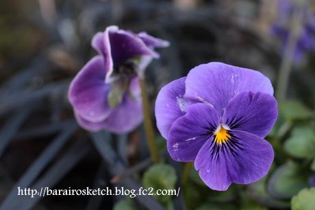 ビオラ紫2