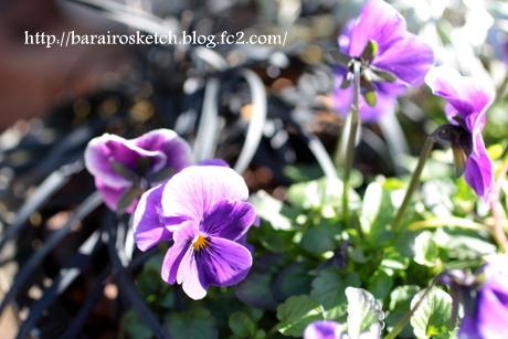 ビオラ紫4