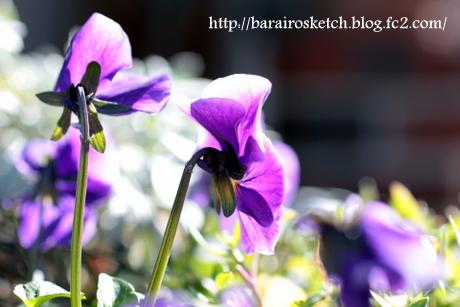 ビオラ紫6