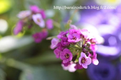 アリッサム薄紫2