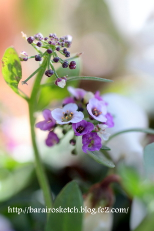 アリッサム薄紫4