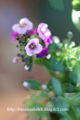 アリッサム薄紫5