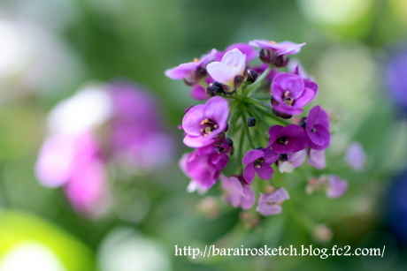 アリッサム薄紫6