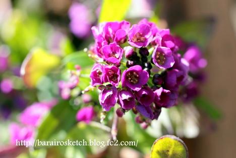 アリッサム紫1