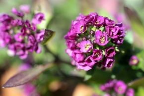 アリッサム紫3