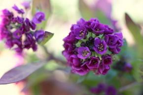 アリッサム紫4