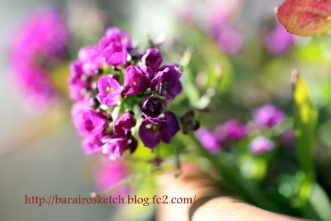 アリッサム紫6