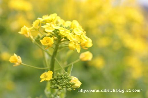 菜の花13