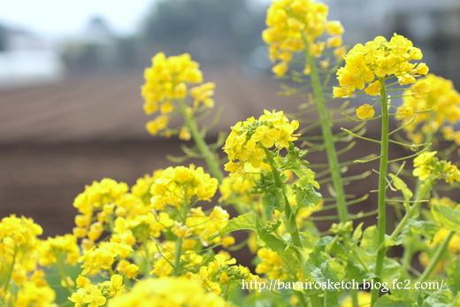 菜の花15