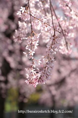 しだれ桜12