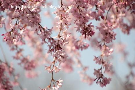 しだれ桜13