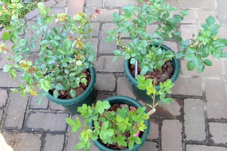 バラ鉢植え1
