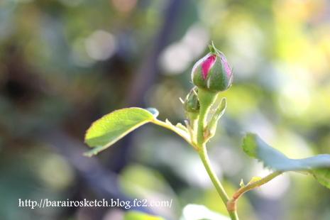 バラの蕾11