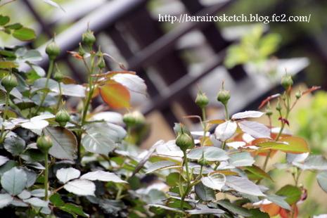 バラの蕾15