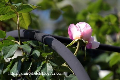 バラ開花11
