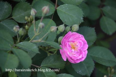 バラ開花12