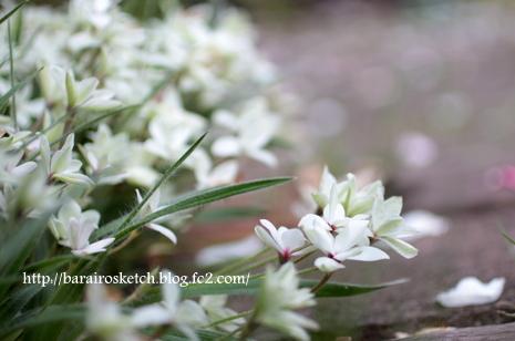 アッツ桜21