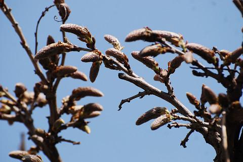 フジの花芽が膨らんだ