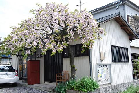 茨坪入口の桜