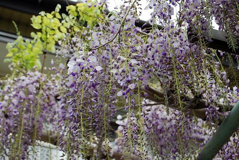 フジの花が長く垂れ