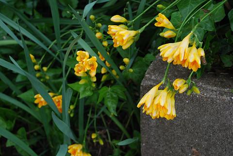 フリージアの花が