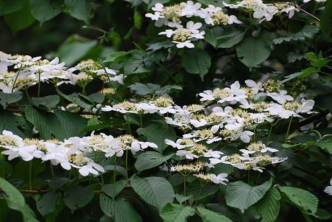 ヤブデマリに花が