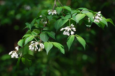 ヒメウツギの白い花が