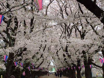 201503sakura3.jpg