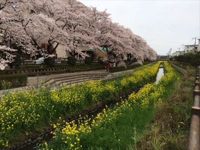 201503sakura7.jpg