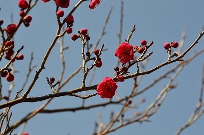 紅梅が咲き始めている