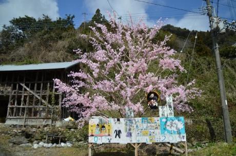 花咲じじいのひな桜