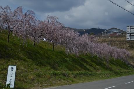 9うだつは枝垂桜が咲いてた
