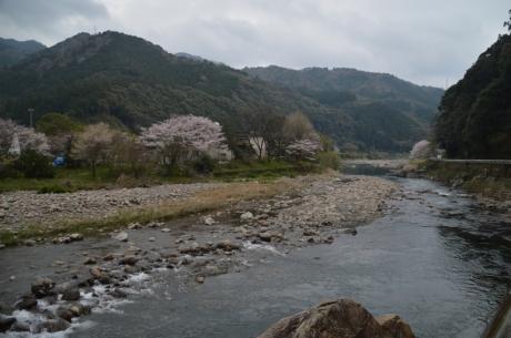 19下流は桜も咲いてる